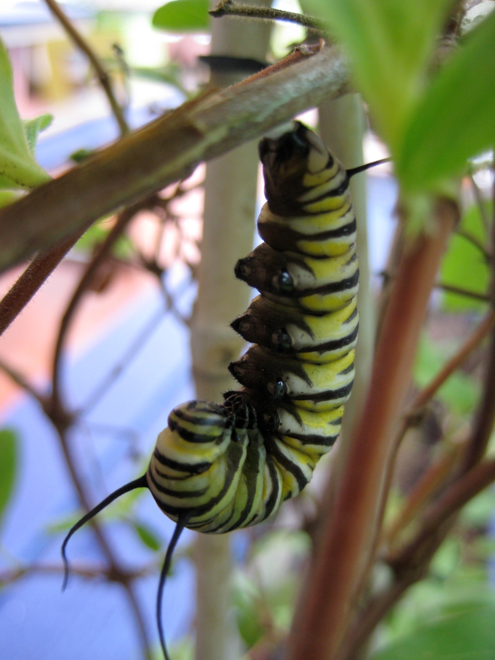 Monarch Larvae at Habana Outpost