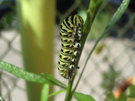 Swallowtail Larvae at Habana Outpost