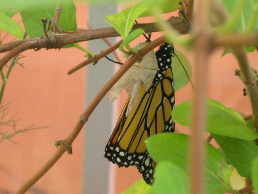 Monarch Butterfly at Habana Outpost